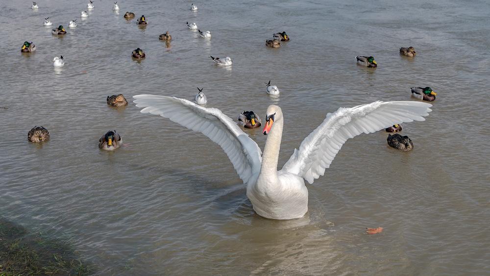 Photoshopを使った【超簡単】リアルタッチ絵画加工(白鳥の写真)