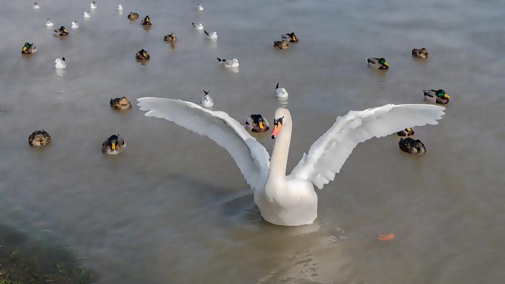 Photoshopを使った【超簡単】リアルタッチ絵画加工(白鳥の写真絵画風)